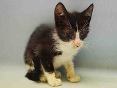 Manhattan Center  My name is MARLEY. My Animal ID # is A1079831. I am a male black and white domestic sh. The shelter thinks I am about 6 WEEKS old.  I came in the shelter as a STRAY on 07/03/2016 from NY 11360, owner surrender reason stated was STRAY.  MOST RECENT MEDICAL INFORMATION AND WEIGHT 07/03/2016 Exam Type INITIAL – Medical Rating is 4 C – SEVERE CONDITIONS , Behavior Rating is NONE, Weight 1.4 LBS.