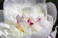 Chinese Peony Festiva Maxima - Home & Garden Peony Flower, Flowers, Paeonia Lactiflora, Peonies, Home And Garden, Bloom, Chinese, Flowering Plants, Peony