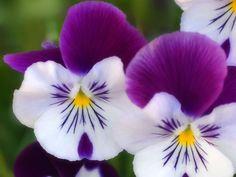 Самые красивые фото цветов и букетов Анютины глазки