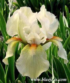Halloween Rainbow Flower Garden, Planting Flowers, Beautiful Blooms, Beautiful Flowers, Iris Flowers, Showy Flowers, Orchids, Growing Flowers, Plant Identification