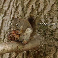 All about fox squirrels and gray squirrels welcome wildlife wildlife sciox Images