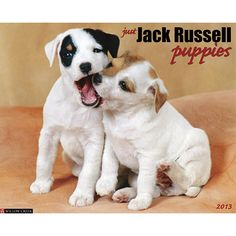 Just Jack Russell Puppies Wall Calendar: Twelve irresistible photographs of spunky Jack Russell puppies who brighten their owners? days and enrich their homes with a tail-wagging, heart-warming presence.  $13.99  http://calendars.com/Jack-Russell-Terriers/Just-Jack-Russell-Puppies-2013-Wall-Calendar/prod201300002937/?categoryId=cat10107=cat10107#