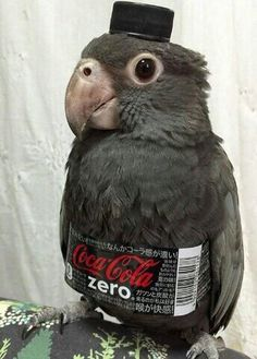 I'd like to share with you all an image that generates infinite happiness: the coca-cola zero parrot Funny Birds, Cute Birds, Cute Little Animals, Cute Funny Animals, Bird Pictures, Funny Pictures, Random Pictures, Funny Parrots, Budgies