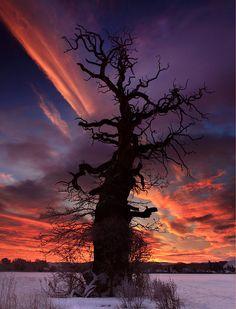 Cromwell Tree at Dawn - ©Angus Clyne…