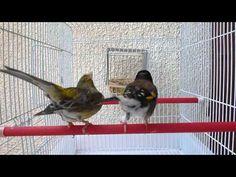 chardonneret algérien noire x canari - YouTube