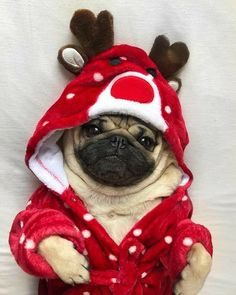 Doug The Pug The sweetest little pug it not cute just look at it Pug Puppies, Cute Dogs And Puppies, Pet Dogs, Doggies, Cute Funny Animals, Cute Baby Animals, Animals And Pets, Christmas Kitten, Christmas Animals