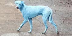 I cani blu di Mumbai per colpa dei rifiuti industriali che inquinano le acque (FOTO E VIDEO)