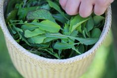delicate baby greens in our BD mesclun mix travel down from the farm to Healdsburg