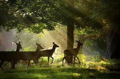 Deer and sun beams.
