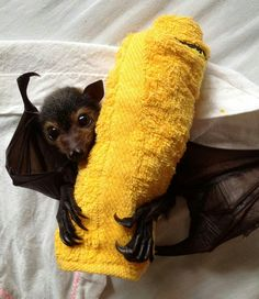 Although microbats are not blind, their true perceptive strength lies in their ability to use echolocation, also known as biosonar. Animals And Pets, Funny Animals, Cute Animals, Reptiles, Mammals, Bat Animal, Fruit Bat, Baby Fruit, Bat Flying