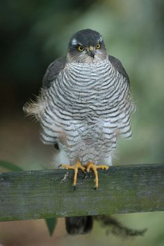 Eurasian Sparrowhawk (Accipiter nisus) is the main predator of the Eurasian nuthatch.