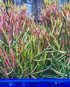 #euphorbia tirucalli 'Fire Sticks' specimens #instocknow #floragrubbgardens
