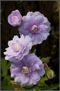I love these pretty purple Geranium flowers (Geranium Pratense ~ 'Summer Skies') All Flowers, Flowers Nature, Amazing Flowers, My Flower, Purple Flowers, Beautiful Flowers, Geranium Pratense, Cranesbill Geranium, Hardy Geranium