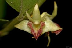 Barkeria - Orchids Wiki, Dendrobium planum rejang.jpg