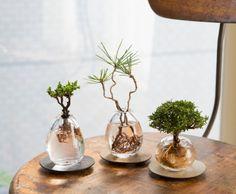 Pin on Decor Bonsai Plants, Bonsai Garden, Succulents Garden, Indoor Water Garden, Indoor Plants, Mini Plantas, Garden Solutions, Mini Bonsai, Air Plant Display