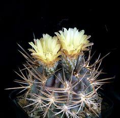 Pyrrhocactus residuus.