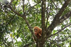 cano negro albino howler monokey   - Costa Rica
