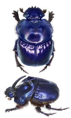 Coprophanaeus saphirinus