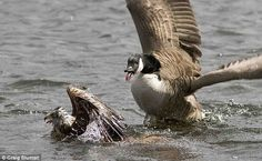 Ambushed: Having misjudged the dive, the kite was then pounced on by a Canada goose, which are notoriously aggressive in defence of their young