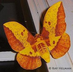"Imperial Moth from ""Butterflies and Moths of North America collecting and sharing data about Lepidoptera"""