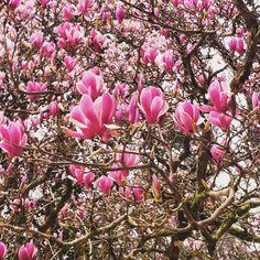 Magnólias em flor / Magnolias in bloom - Sintra, Portugal