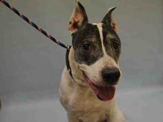 SUPER URGENT Manhattan Center CHINA – A1075133  FEMALE, WHITE / BLACK, AM PIT BULL TER MIX, 13 yrs OWNER SUR – EVALUATE, NO HOLD Reason MOVE2PRIVA Intake condition GERIATRIC Intake Date 05/25/2016, From NY 10457, DueOut Date05/28/2016