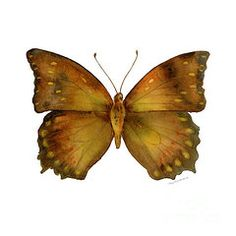 Watercolor Butterflies - Featured Images - 34 Charaxes Butterfly  by Amy Kirkpatrick