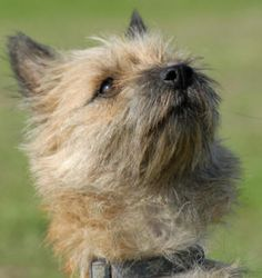 Cairn Terrier – The Importance Of Spaying And Neutering !