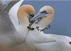 Commended in the Behaviour – Birds category: True love by Steve Race, UK. ©Steve Race/Wildlife Photographer of the Year 2013