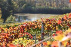Lacrima del Val d'Arno vines in Autumn