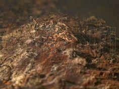 This is a freshwater underwater photograph ofa wild Parotocinclus eppleyi in its natural habitat, Amazonas, Venezuela.