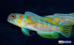 Blue Harbor Flexes Rare Pair of Hopkin's Jawfish | Reef Builders | The Reef and Saltwater Aquarium Blog Rare Fish, Little Fish, Saltwater Aquarium, Blog, Saltwater Tank, Blogging