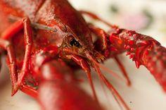 Macro Lobster