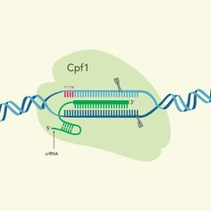 IDT first to market with complete Cpf1-based CRISPR genome editing system