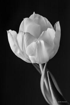 A tulip in melancoli Copyright: Heidi Femmen
