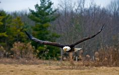 Bald Eagle in Flight by Sue Ratcliffe