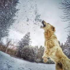 GoPro jumping dog to catch the snowball, snow, golden retriever