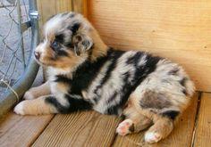 Aussie shpherd pup