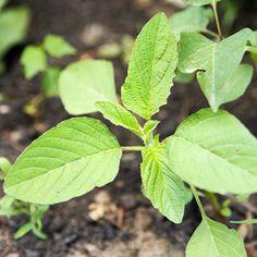 Common Weed: Pigweed