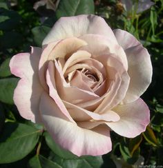 Rose 'Grey Pearl'....this would make a lovely addition to my rose lane on the side of my house :)