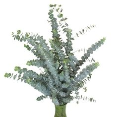 Italian Ruscus Greenery adds a simple, clean touch to classic bouquets and arrangements. Shop for the perfect complement to your flower arrangements today! Freesia Flowers, White Ranunculus, White Peonies, Carnations, White Roses, Blue Wedding Flowers, Diy Flowers, Flower Decorations, Flower Ideas