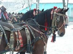 P1060649 - cai cu hamuri