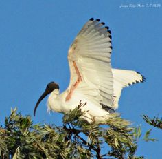 Ibis landing on top of tall tree Landing, Comfy, Nature, Photos, Top, Naturaleza, Pictures, Nature Illustration, Off Grid