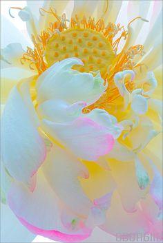 Flower Macro - ©Bahman Farzad / lotusflowerimages.com (via flickr)