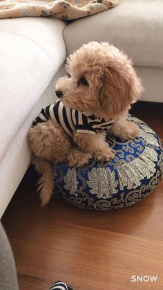 Tiny toy apricot poodle #Poodle