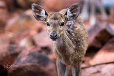 Portrait of Spotted Indian deer