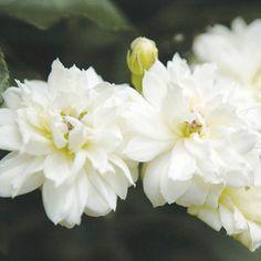 Rosier de Banks Alba Plena - rosier liane