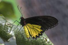 Fine Art Print. Indonesia. Birdwing butterfly on leaf