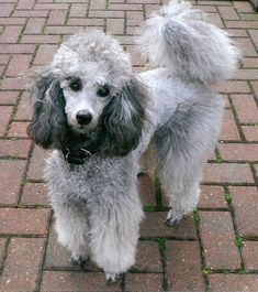 Gorgeous silver poodle. Amazing colouring.
