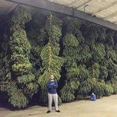 Sour Diesel is an extra-dank breed of weed. Marijuana Plants, Farm Online, Store Online, Weed Shop, Buy Weed, Weed Drug, Weed Buds